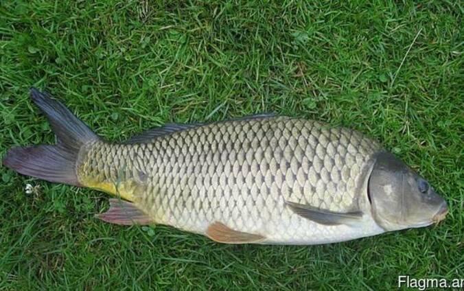 Продам живую рыбу: карп, толстолобик, щука, карась Зарыбок