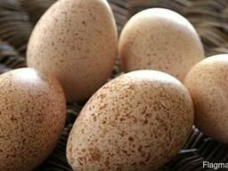 Яйцо инкубационное индюшиное кросса БИГ-6