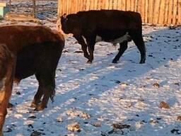 Бұқалар, мал, КРС, быки, мясо, бычки - photo 8