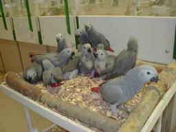 Fresh Parrot Fertile Eggs and Parrots For Sale