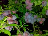 Саженцы плодовых культур - фото 4